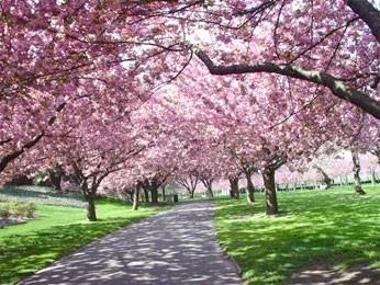 В Японии национальный символ - сакура.  Сакура - это японское название декоративного дерева, относящегося к виду...
